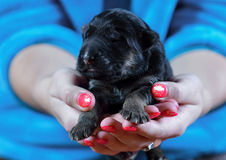 Serious German Shepherd puppy! Royalty Free Stock Image