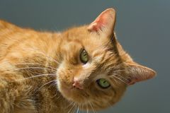 Serious ginger tabby looking at you stock images