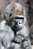 Serious gorilla portrait Stock Photography