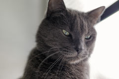 Serious gray cat portrait royalty free stock image