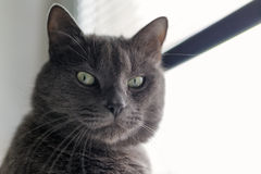 Serious gray cat portrait royalty free stock photography