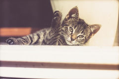 Serious Gray Kitten Resting Near the Glass Window Royalty Free Stock Photo