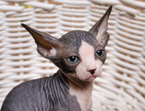 Serious Gray Little Sphynx looking at the Camera Stock Photos