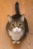 Serious grey cat Stock Image