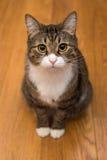 Serious grey cat Royalty Free Stock Photos
