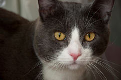 Serious grey and white cat closeup portrait. Photo of the grey and white cat, who look at the camera Royalty Free Stock Photos