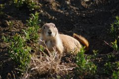 Serious Groundhog. Groundhog looking very serious in the late afternoon in Colorado royalty free stock photos