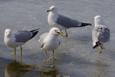 The serious gull is teaching the colleagues Royalty Free Stock Image