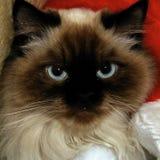 Serious himalayan. Serious looking himalayan cat looking at viewer with big blue eyes Stock Images