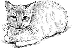 Serious house cat Royalty Free Stock Photography