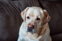 Serious labrador dog on grey background Stock Photography