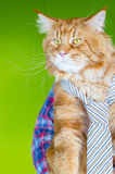 Serious Leader Maine Coon Cat wearing Tie and looking  at His Employee in Office, Meeting Time Royalty Free Stock Photos
