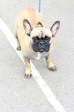 Serious look pug dog. Dog breed pug looks interesting.French bulldog Royalty Free Stock Images