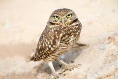 Serious Looking Burrowing Owl Stock Image