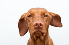 Serious Looking Hungarian Vizsla Dog Closeup Stock Image