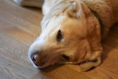 Happy smiling dog face, labrador. Stock Photography