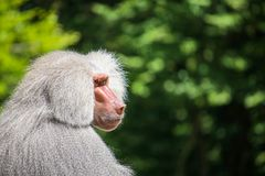 Serious looking male baboon. A serious looking male baboon with grey fur stock images