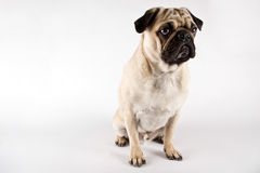 Serious looking pug Royalty Free Stock Images