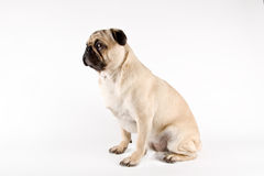 Serious looking pug Stock Image