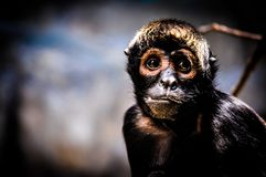 Serious spider monkey. A serious looking spider monkey Stock Images