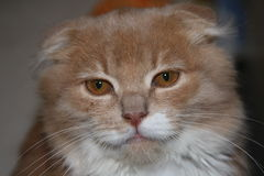 Serious lop-eared cat looking at the camera Stock Images
