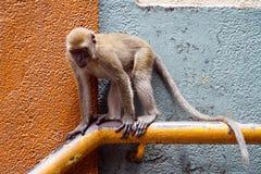 Serious monkey. Monkey sitting on the banisters Stock Image