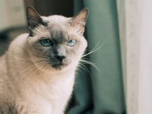 Thai cat with blue eyes. stock photos