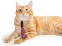 Serious orange cat with a tie Stock Images