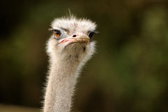 A serious ostrich Royalty Free Stock Photo