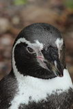A Serious Penguin Royalty Free Stock Photo
