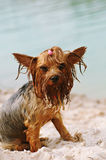 Serious portrait of wet yorkshire terrier Stock Photos