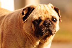 Serious Pug Royalty Free Stock Images