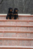 Serious puppies modelling on stairs. Two little serious puppies sitting on stairs, looking together to the right side Stock Image
