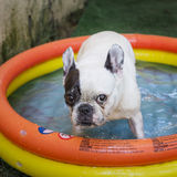 Serious puppy dog in a toy pool Royalty Free Stock Photos
