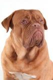 Serious puppy of dogue de bordeaux looking aside Stock Photos