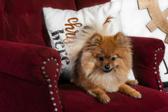 The serious puppy sitting on the armchair royalty free stock photography