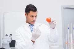 Serious scientist doing injection to tomato. In the laboratory Royalty Free Stock Photography