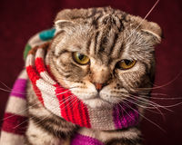 Serious Scottish Fold cat in striped scarf. Prepares for winter stock photo