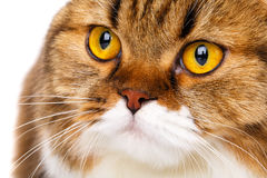 Serious Scottish Fold cat on white background closeup Royalty Free Stock Photos