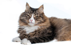Serious siberian cat isolated on white background Royalty Free Stock Photos