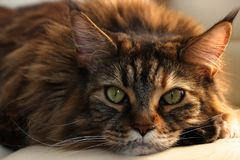 Serious sleepy main-coon cat with green eyes and multicolor wool on white background. Romantic cat royalty free stock images