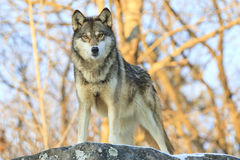 Serious stare down by wolf. Serious stare down by timber wolf Royalty Free Stock Photo