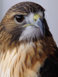 Serious Stare. Red tailed hawk peering at potential prey royalty free stock image