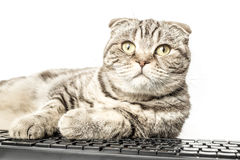 Serious striped cat Scottish Fold works lying at the computer Stock Images