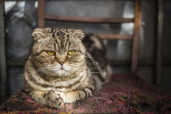 Serious striped Scottish Fold cat Stock Images