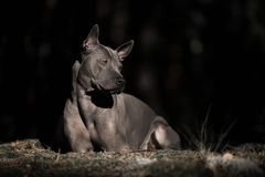 Serious Thai ridgeback lying on the edge of the forest in the shade royalty free stock photos