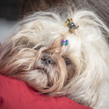 Serious and tired shi tzu puppy dog face expression Royalty Free Stock Images
