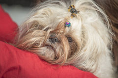 Serious and tired shi tzu puppy dog face expression Royalty Free Stock Photo