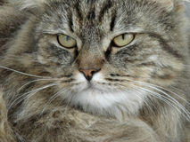 Serious tomcat. Serious gray tomcat portrait close-up Royalty Free Stock Image