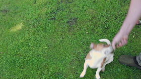 Serious About A Toy. A small terrier hanging on his toy while playing in a park with people stock footage